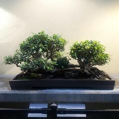 Chinese banyan #bonsai 1985