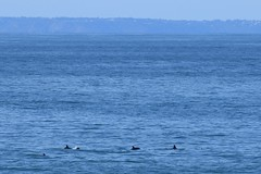 Bottlenose Dolpins (andyt1701) Tags: jersey