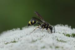 Eumenes sp. (Phil Arachno) Tags: eppstein hymenoptera insecta arthropoda wasp hessen maintaunuskreis germany deutschland