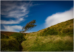 Mainly South Westerly (MAN1264) Tags: injebreckhill tree wind isleofman barrymurphyphotography