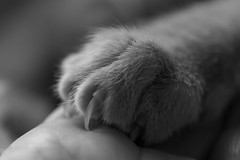 Kitten claws (la posie des images) Tags: macromondays handlewithcare laposiedesimages macro thathurts sharp claw