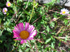 Sea daisy (jo.elphick) Tags: burrill lake nsw australia
