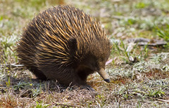 A Spiky Visitor (aussiegall) Tags: echidna monotreme animal spring matingseason