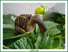Caracol (celicom) Tags: naturaleza animal fauna caracol invertebrado