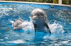 Calla and Coco (Seals4Reals) Tags: world sea baby orlando florida dolphin nursery believe killer whale orca seaworld calf shamu bottlenose orcinus tursiops