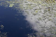Lettuce Lake (heart_of_au) Tags: ltm canon tampa florida sony 100mm adapter f2 leicascrewmount leicathreadmount nex3