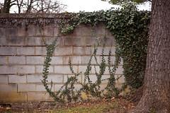 Ivy on Wall (conradz) Tags: usa vines ivy va staunton cinderblockwall