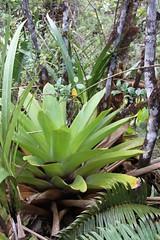 Brocchinia tatei (Bromeliaceae)
