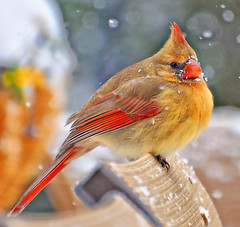 Snowflakes on my Face (Jeff Clow) Tags: winter nature birds colorful texas natural cardinal snowing dfw nikkor70300mmvr nikond7000