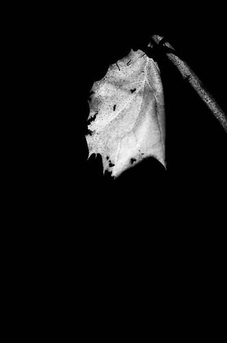 A dead leaf