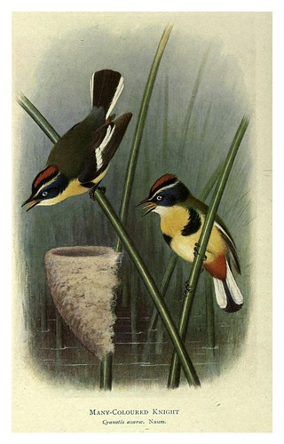 001-Caballero de muchos colores-Birds of La Plata 1920- William Henry Hudson