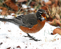 """""""I Know I Eat Too Much, But these Cherries Are Good For Me!"""" (mbryan777) Tags: winter orange snow bird oklahoma robin leaves cherry berry nikon full 500mm tamron d300 supershot 200500mm abigfave dsh3628cx28x10 mbryan777 michaelbryanphotography"""