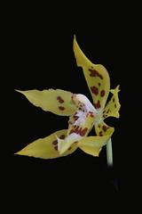 Odontoglossum auroincarum 297 P (Guido Deburghgraeve) Tags: peru orchids species odontoglossum auroincarum