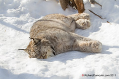 Lynx du Canada... Attention de ne pas le rveiller : ) (RichardDumoulin) Tags: canada du lynx