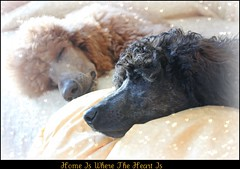 The Keepers Of My Heart (Higher Standards) Tags: poodles mercy judd mercyme standardpoodles redpoodle spoos thejuddster spoobestshot redsablephantompoodlepuppy mercybuckets