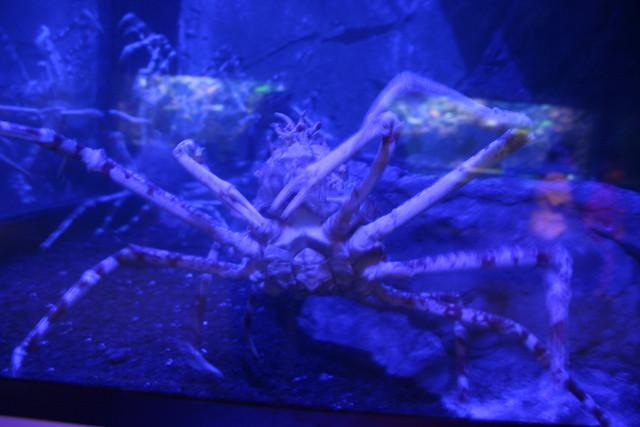 Newport Aqurarium:  Japanese crab