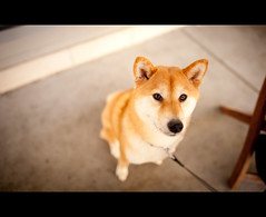 I'll Have What You're Having...Please? (kaoni701) Tags: sf sanfrancisco dog pet puppy japanese nikon bokeh suki shibainu shiba missionbay shibaken philz  24mmf14 d700