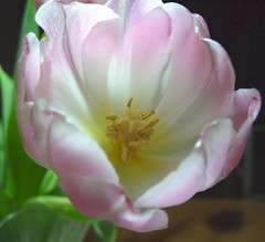 Tulpan sknhet / Tulip beauty (HJsfoto) Tags: winter vinter rosa tulip tulpan bulbflower fantasticflower flowerwatcher lkvxt auniverseofflowers