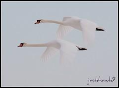 """Mute Swan"" ""Cygnus olor"" (jackhawk9) Tags: nature birds canon newjersey swan ngc waterfowl muteswans edwinbforsythenationalwildliferefuge fantasticnature oceanville jackhawk9"