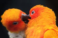 orange bird netherlands yellow closeup stock beak nederland vogels free parrot cc creativecommons geel vogel oiseaux oranje bek avifauna onblack papegaai sunconure vogelpark aratingasolstitialis sunparakeet snavel freetouse zwarteachtergrond zonparkiet alittlebeauty
