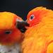 A sun (parakeet) 's kiss