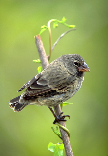 finches in the galapagos islands essay Thirteen species of finches live on the galápagos, the famous island group  visited by charles darwin in the 1830s the finches have a variety of bill shapes  and.