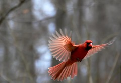 translucent shades of red (huntington girl) Tags: red bird wings cardinal flight naturesfinest 21711 48365 3652011