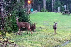 The girls (Librarianguish) Tags: green wet beautiful cabin olympicpeninsula deer rainy mossy soggy 211 darwinday lostresortatlakeozette
