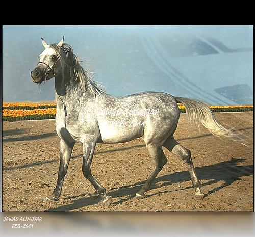 ARABIAN HORSE-1