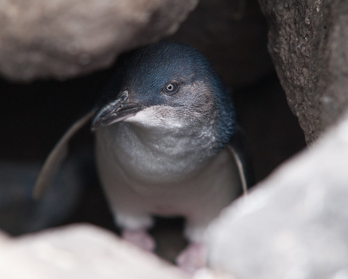 Blue Penguin by jayshirtliff