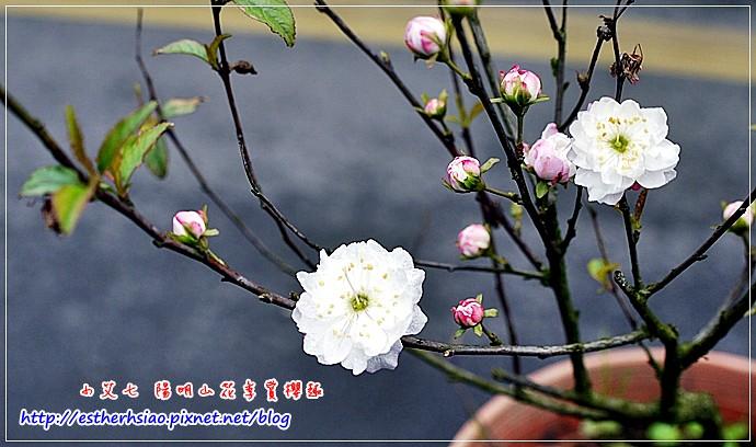 43 櫻花?重瓣桃花?