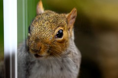 Squirrel - Explored :-) by Airwolfhound, on Flickr
