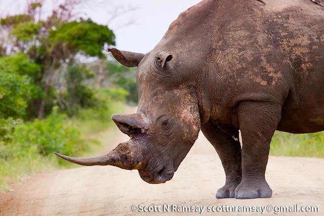 South Africa - KwaZulu Natal - iSimangaliso Wetland Park - White rhino