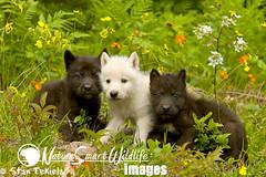 Gray Wolf (Canus lupus) (Stan Tekiela's Nature Smart Wildlife Images) Tags: flowers usa grass animals mammal puppies unitedstatesofamerica mammals graywolf stockimages vertebrates mamalia canuslupus stantekiela naturesmartwildlifewordsandimages blackwolfpups lwhitepups