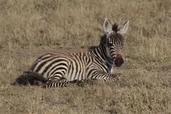 Baby Zebra (az3) Tags: africa zebra eastafrica kenya lakenakuru equidae