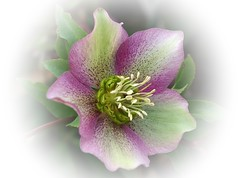 Helleborus (mamietherese1) Tags: 1001nights rs shining soe visualart helleborus magicalmoments oa autofocus ourtime doublefantasy simplybeautiful callingallangels greatphotographers theworldwelivein supershot bej contemporaryartsociety fineartphotos fantasticnature shockofthenew specialpicture 123f50 diamondclassphotographer flickrdiamond memoriesbook flowersarebeautiful overtheexcellence flickrslegend floralessence floraandfaunaoftheworld fabulousphoto excellentsflowers natureselegantshots ahqmacro rubyphotographer exquisiteflowers mimamorflowers theenchantedcarousel awesomeblossoms flickrflorescloseupmacros panoramafotogrfico exceptionalflowers artistictreasurechest thebestofmimamorsgroups greatshotss capturethefinest imagicland lightanddelicatebeauty sailsevenseas galleryofdreams coppercloudsilvernsun fugitivemoment sublimeflowershot fleursetpaysages gfeffe exoticimage flickrsportal gigilivornosfriends abokehoflight lovelymotherearth healinglightofthespirit macromagister allnaturesparadise itsallaboutflowers flickrstruereflection1 artcityart flickrstruereflectionlevel1 trueexcellence1 rememberthatmomentlevel1 flickrsfinestimages1 magicmomentsinyourlife magicmomentsinyourlifelevel2 magicmomentsinyourlifelevel1 rememberthatmomentlevel2