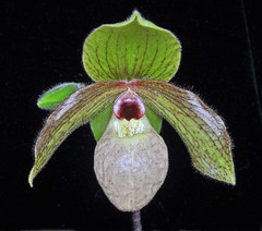 Paphiopedilum maliopense close view. February 2011. (Phajus) Tags: orchids paphiopedilums slipperorchids paphiopedilummaliopense