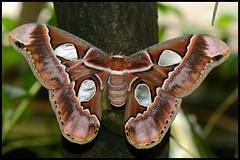 Forbes Moth--EXPLORED (Angella's Photography) Tags: macro gardens botanical photography la close tucson butterflies exhibit ups moths angella dragongoldaward worldnaturewildlifecloseup nikonflickraward mygearandme mygearandme1 digitalphotographyschoolphriends