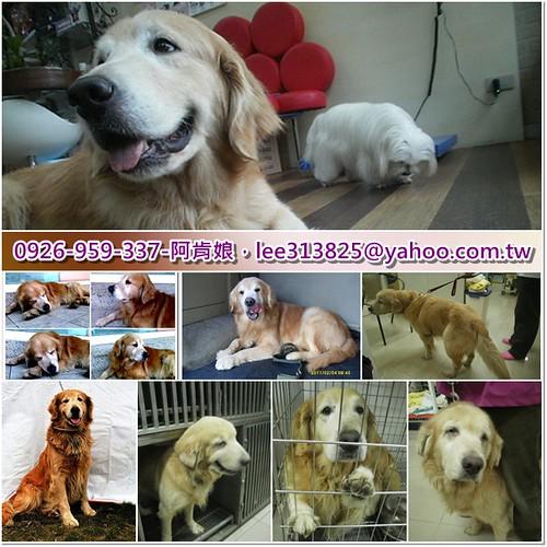 「支援助認養」桃園救援三隻被棄養的黃金獵犬,不同的淒慘故事,需要醫療資源助認養,謝謝您~20110224