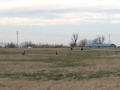 Geese next door. (proudnamvet........Patriot Guard Riders) Tags: oklahoma geese wildlife goose honkers