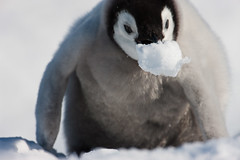 Young Emperor penguin (Exodus Travels - Reset your compass) Tags: trip travel holiday snow travelling bird ice animal travels xx young antarctica adventure exodus antarctic weddell