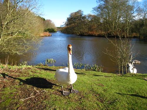 Haddo Swan