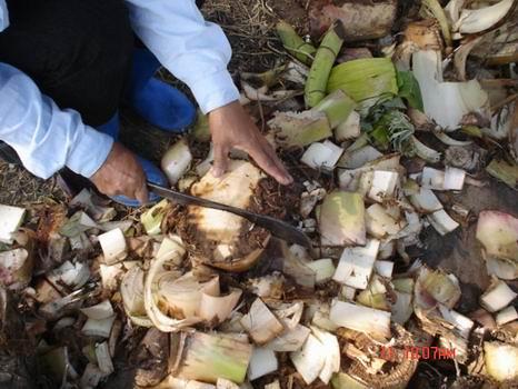 การปลูกกล้วยแบบผ่าหน่อ การขยายพันธุ์กล้วยด้วยการผ่าหน่อ