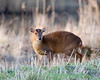 Muntjack (Muntiacus reevesi) (Andrew Haynes Wildlife Images) Tags: deer coventry warwickshire brandonmarsh munjack canon7d ajh2008 carltonhide