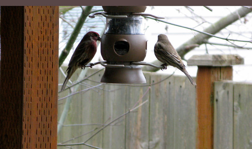 finches, winter 2011
