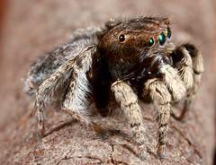 _MG_1258 (1) (Jurgen Otto) Tags: wildlife arachnid australia jumpingspider invertebrate vespertilio salticidae peacockspider maratus