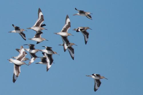 Willets in flight