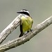 Great Kiskadee (John Caddick)