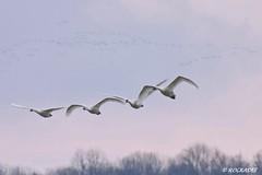 Going Home (ROCKADEE_Two With Eagles 1951 / Rockey & Dee) Tags: flying wildlife swans goinghome migration waterfowl tundra rockey naturerules rockadee birdinginthewild