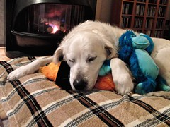 Maxx fast asleep by the fire (Guido Havelaar) Tags: dog chien cute dogs cane goldenretriever puppy hound retriever hund pup cao grcn caneimmagini fotosdoco fotosdelperro